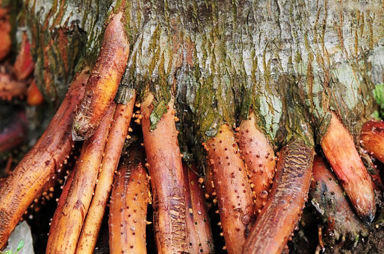 Dùng phần rễ cau trồi lên mặt đất có màu vàng đất, những rễ cau trên 5 năm tuổi để làm thuốc chữa bệnh yếu sinh lý