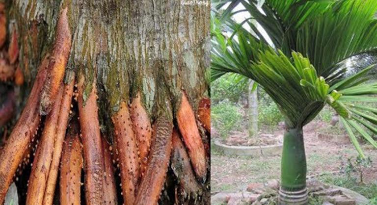 Tinh chất bên trong rễ cau có tác dụng cải thiện độ cương cứng của dương vật và tăng ham muốn ở nam giới