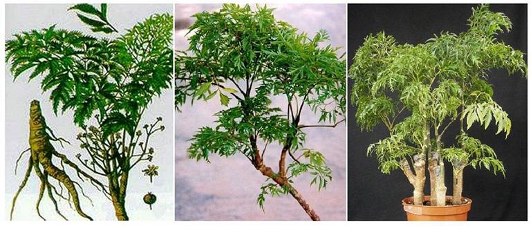Rễ đinh lăng chứa các dưỡng chất cần thiết, có tác dụng cải thiện và ổn định sinh lý nam giới