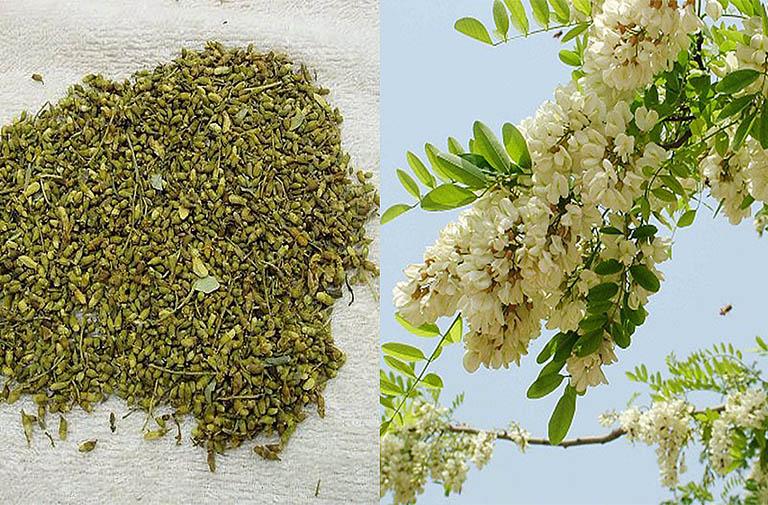 Bài thuốc Đông y chữa bệnh trĩ bằng vị thuốc Hoa hòe