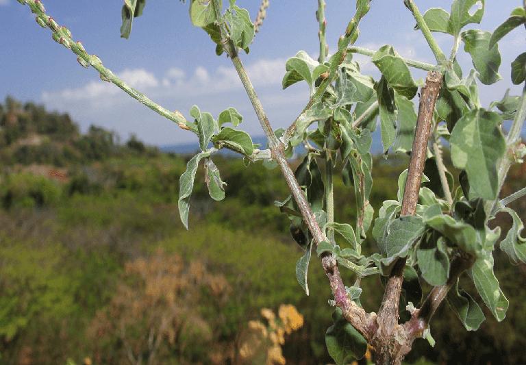 Bài thuốc điều trị bệnh thận yếu bằng cây cỏ xước