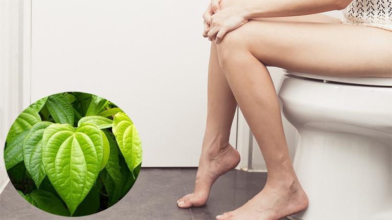 Thực hư về vấn đề sử dụng lá trầu không để chữa bệnh trĩ? - Thắc mắc của nhiều bạn đọc