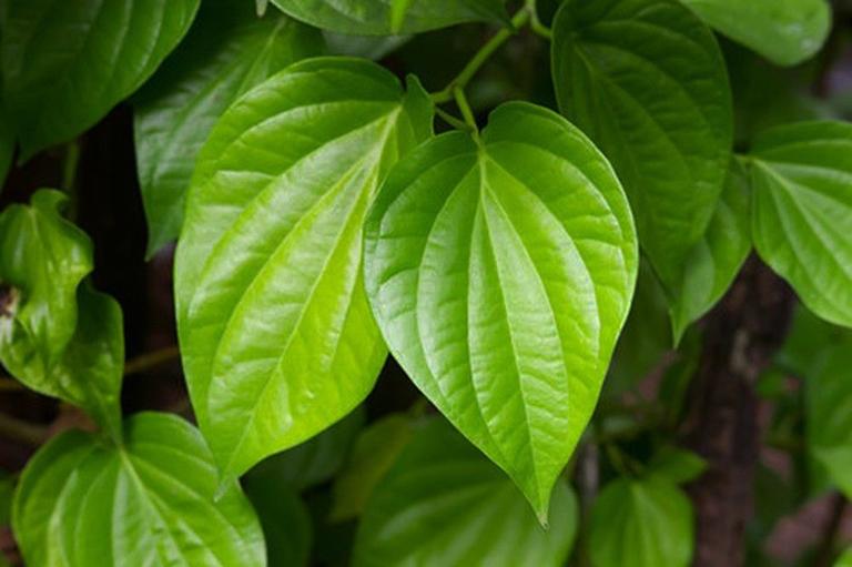 Lá trầu không có tác dụng sát khuẩn, tiêu viêm, cầm máu, sa búi trĩ,... do đó, loại lá cây này rất phù hợp để chữa bệnh trĩ