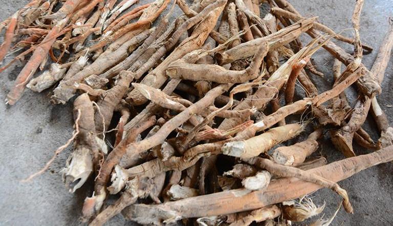 Để chữa bệnh, nên lựa chọn rễ cau càng lâu năm càng tốt (rễ cau trên 5 năm tuổi)