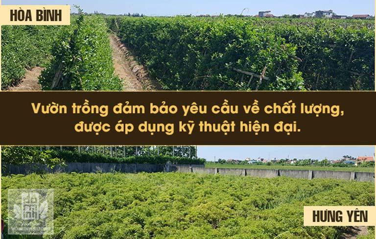 Vườn thảo dược sạch của nhà thuốc tại Hòa Bình và Hưng Yên