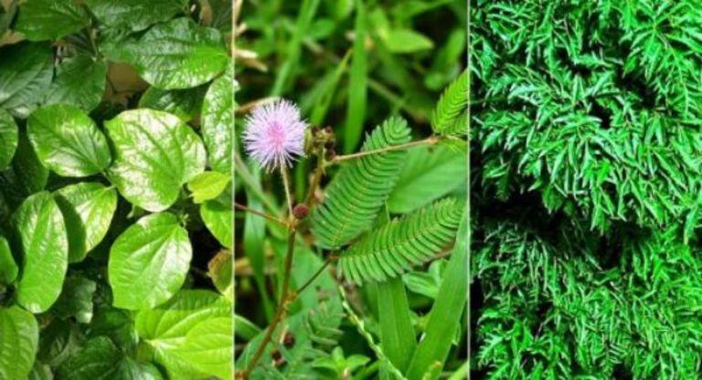 Bài thuốc Đông y kết hợp giữa lá lốt, lá đinh lăng với rễ cây trinh nữ giúp người bệnh nhanh chóng cải thiện tình trạng đau cột sống và tăng tuần hoàn máu.