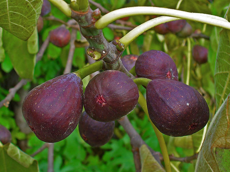 Trong cả quả và lá của cây sung có chứa các thành phần có lợi trong việc cải thiện bệnh trĩ ở giai đoạn đầu
