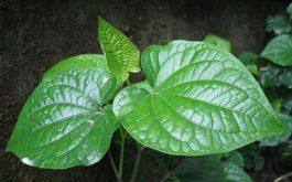 Ngoài công dụng là gia vị, lá lốt là một vị thuốc Đông y phòng và chữa yếu sinh lý nam