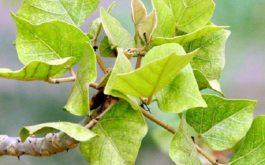 cách dùng lá vông chữa bệnh trĩ