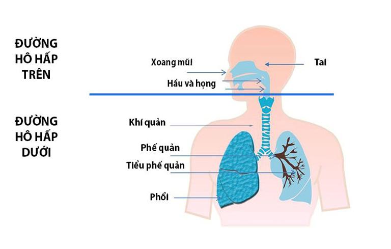 Cấu tạo đường hô hấp trên và đường hô hấp dưới