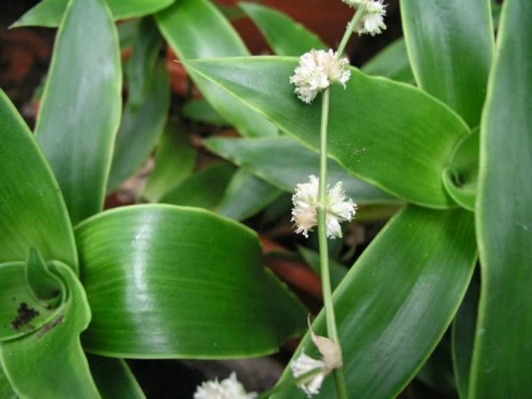 Cây lược vàng luôn nằm trong top đầu các loại cây thuốc chữa bệnh trĩ