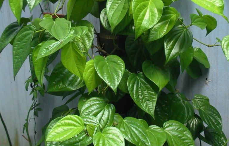 Theo Đông y, lá trầu không có vị cay nồng, tính ấm nên có tác dụng tiêu viêm, kháng khuẩn