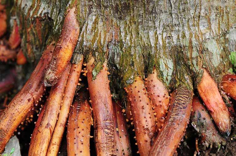 Sử dụng phần rễ cau trồi trên mặt đất càng lâu năm càng tốt để chữa bệnh yếu sinh lý