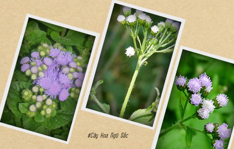 Hoa ngũ sắc được dùng trong chữa viêm xoang