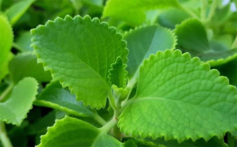 Không sử dụng bài thuốc từ lá húng chanh để trị ho có đờm cho các đối tượng dị ứng với một số thành phần có trong thảo dược này