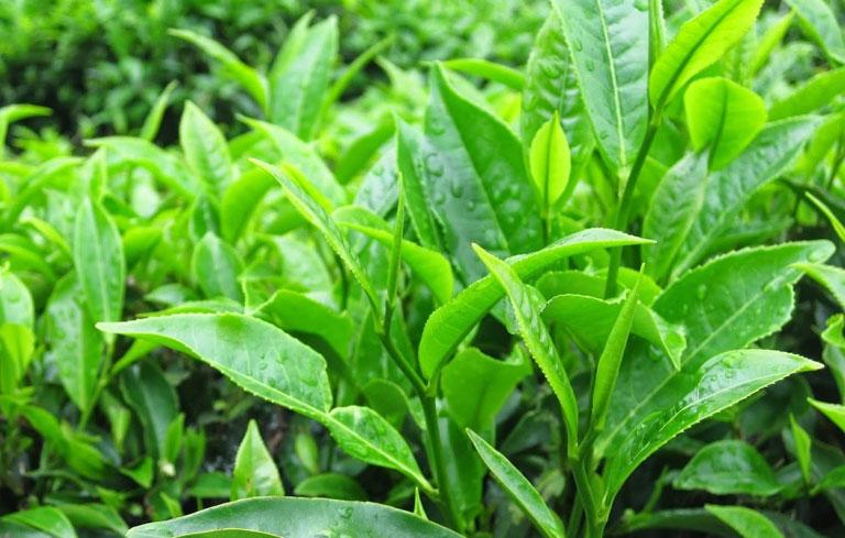 Các tinh chất trong lá trà xanh giúp loại bỏ dịch âm đạo màu vàng