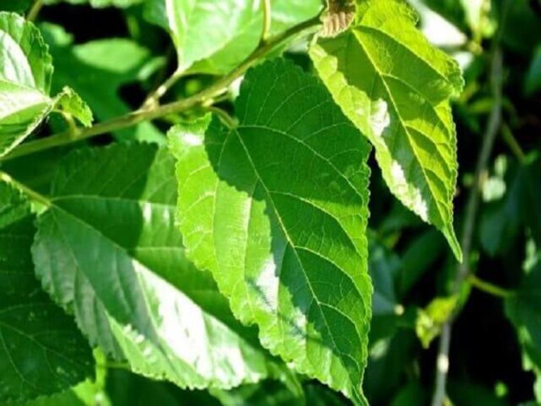 Lá vông nem cũng nằm trong danh sách các loại cây thuốc chữa trĩ hiệu quả
