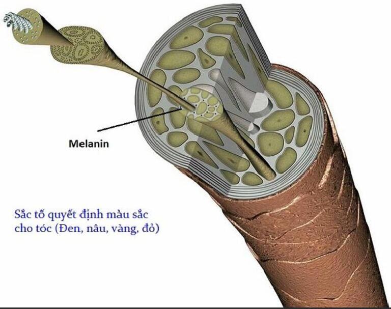 Melanin là yếu tố quyết định màu tóc