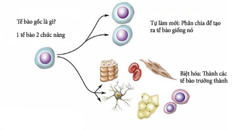 Tế bào gốc khi được nuôi cấy trong môi trường nhân tạo có thể phát triển biệt hóa thành tế bào ở các cơ quan đang bị thương tổn