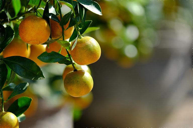 Tắc có vị chua, mùi thơm đặc trưng, tính ấm, có tác dụng tiêu viêm, kháng khuẩn, giảm đau rát vòm họng