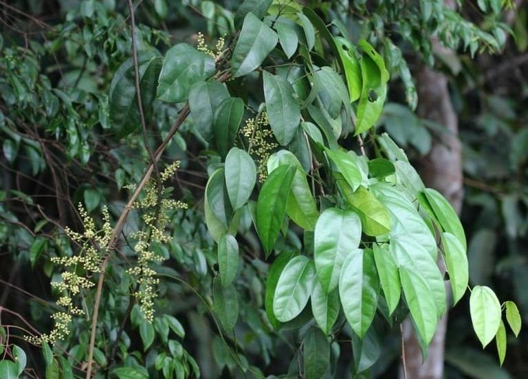 Chiết xuất dược liệu từ cây Hoàng đằng là một trong những thành phần chính bào chế thuốc Berberin.