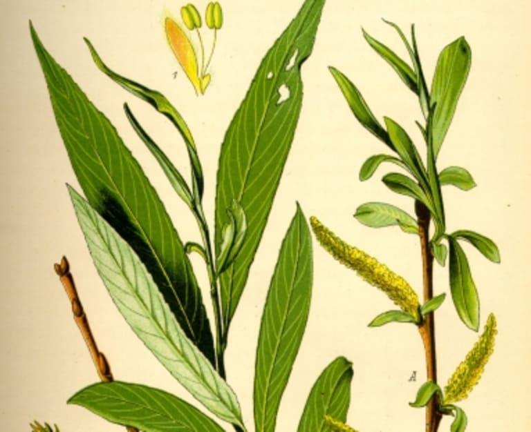 Thuốc Aspirin được chiết xuất từ cây Spiraea.