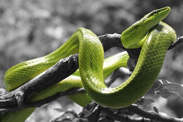 Nọc độc của rắn lục có thể gây chết người. Tuy nhiên, bột từ xương của loài rắn này lại có công dụng chữa bệnh thoái hóa cột sống.