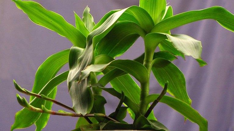 cây lược vàng chữa bệnh trĩ