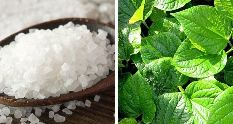 Kết hợp muối tinh với lá trầu không để chữa bệnh viêm phụ khoa