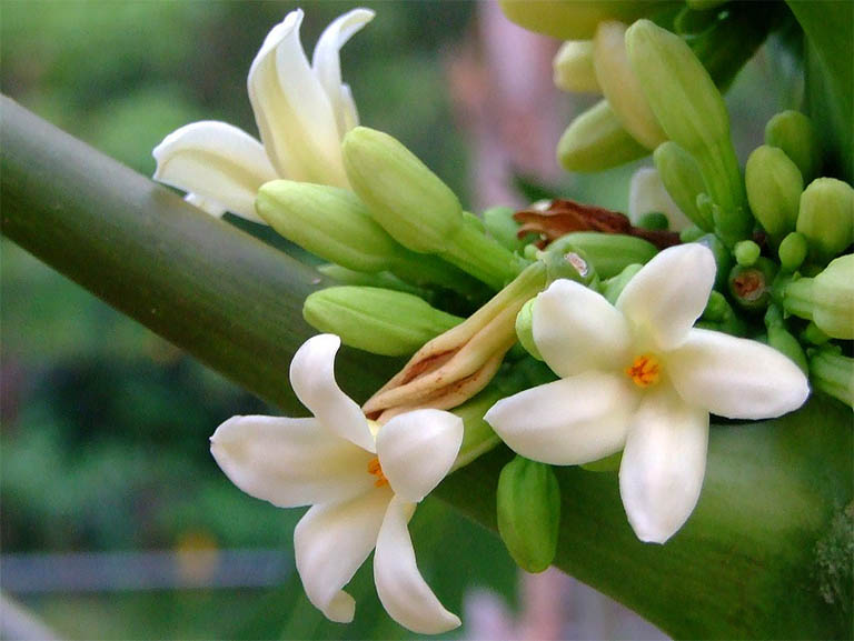 Tác dụng của hoa đu đủ đực chữa bệnh