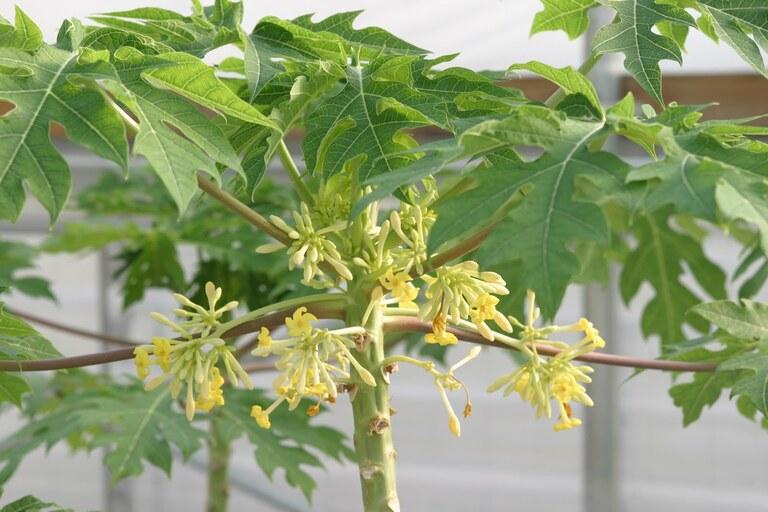 Các cách sử dụng hoa đu đủ đực chữa bệnh
