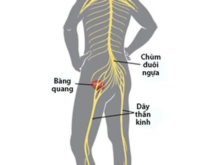 Các dây thần kinh đuôi ngựa ngoài chi phối hoạt động của hai chân còn kiểm soát hoạt động của bàng quang và trực tràng.