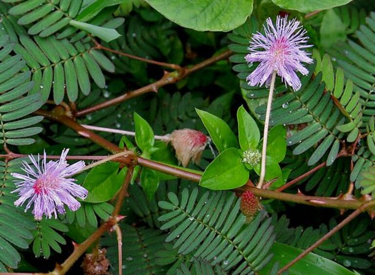 Rễ cây trinh nữ chữa xẹp đĩa đệm cột sống lưng là phương pháp có từ lâu đời trong dân gian.