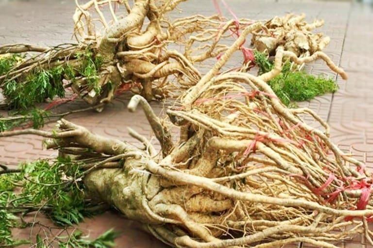 Các bộ phận của cây đinh lăng, đặc biệt là rễ có tác dụng chữa đau cột sống cho phụ nữ sau sinh mổ.