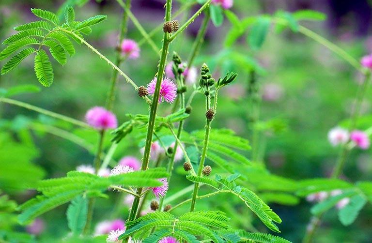Bài thuốc điều trị bệnh từ rễ cỏ trinh nữ
