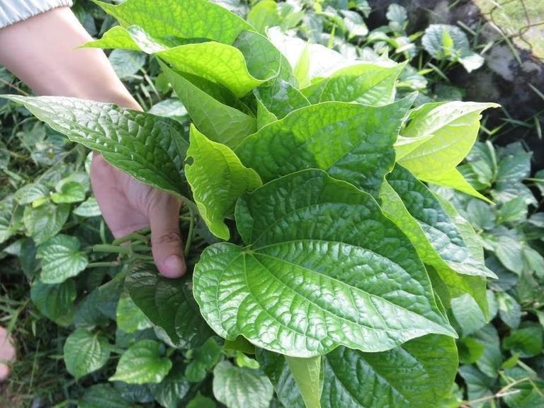 Một trong những công dụng được biết đến nhiều nhất của lá lốt là chữa bệnh á sừng.