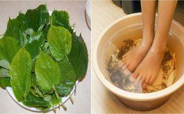 Cách chữa viêm nang lông bằng lá lốt