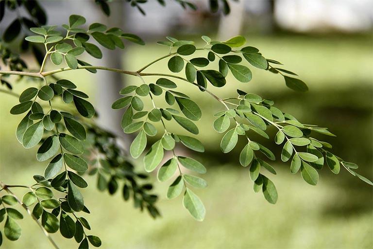 Những điểm cần lưu ý khi sử dụng dược liệu cây chùm ngây
