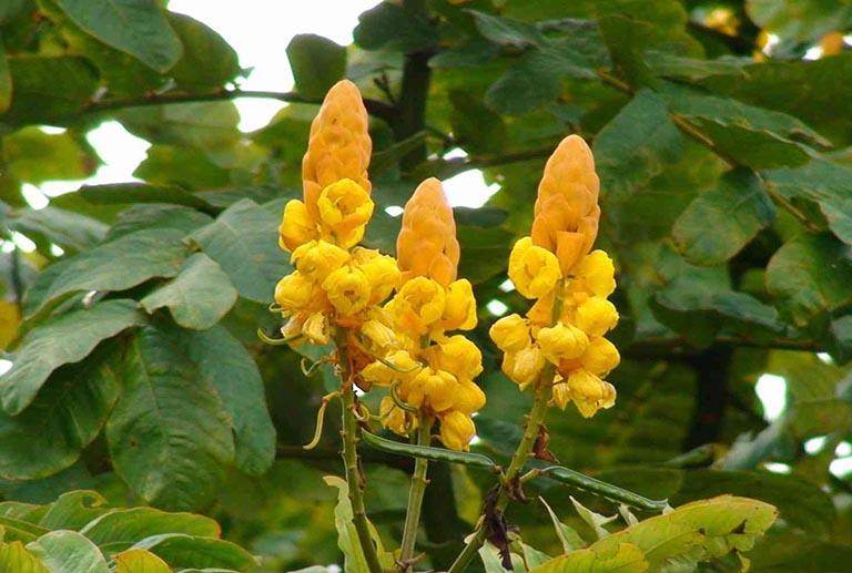 Cành, lá, rễ, hạt Muồng trâu đều được sử dụng để làm thuốc