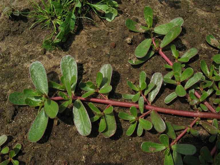 Điểm qua những công dụng của cây rau sam