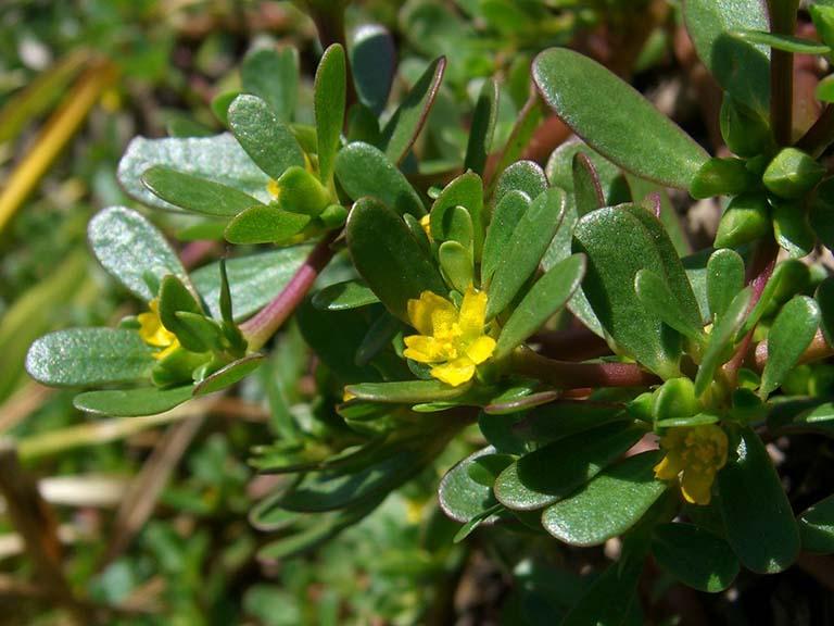 Cây rau sam hay còn gọi là Mã xỉ hiện. Mã xỉ thái, Trường thọ thái,... thuộc họ Rau sam với danh pháp khoa học là Portulaca oleracea L.