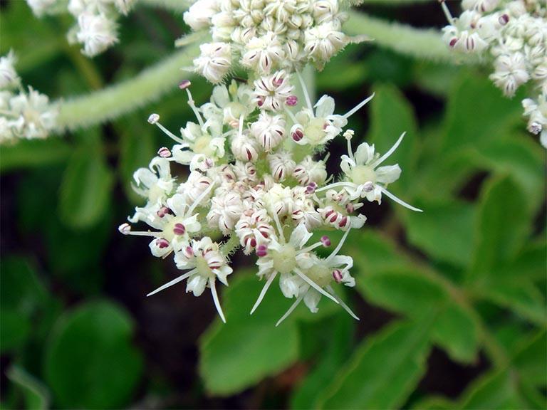 Cây sa sâm được trồng nhiều ở tỉnh Sa Pa và rải rác một số tỉnh thành khác