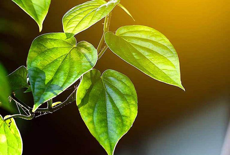 Công dụng điều trị bệnh tổ đỉa của lá trầu không