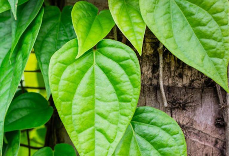 Những điều cần lưu ý khi áp dụng cách chữa bệnh tổ đỉa bằng lá trầu không
