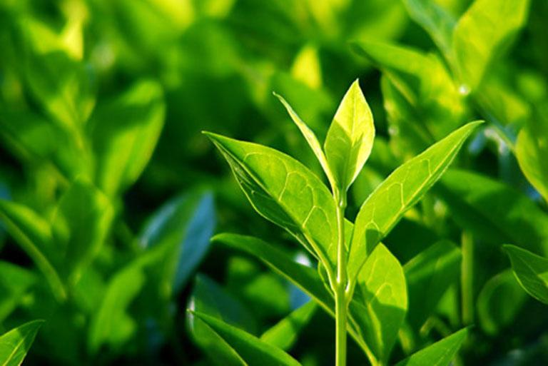 Lá trà xanh là một trong những thảo dược giúp cải thiện tình trạng khô vùng kín