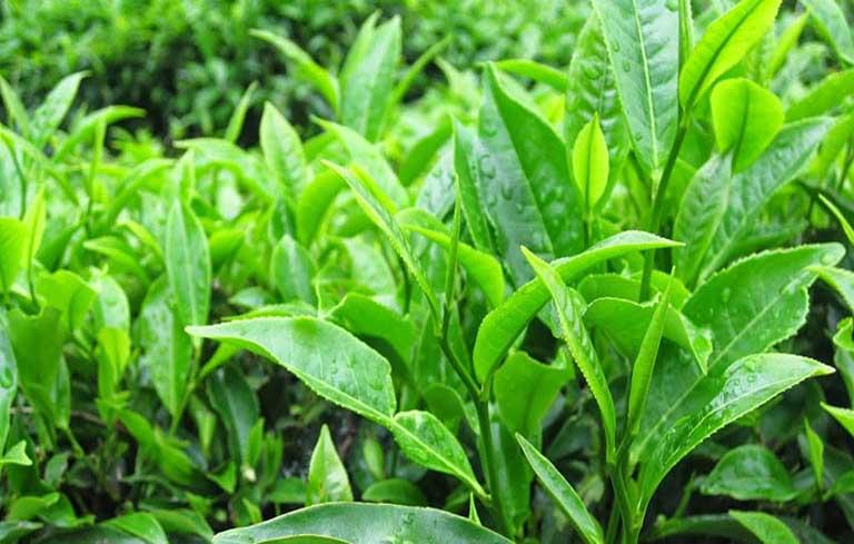 Chữa viêm da cơ địa bằng lá trà xanh
