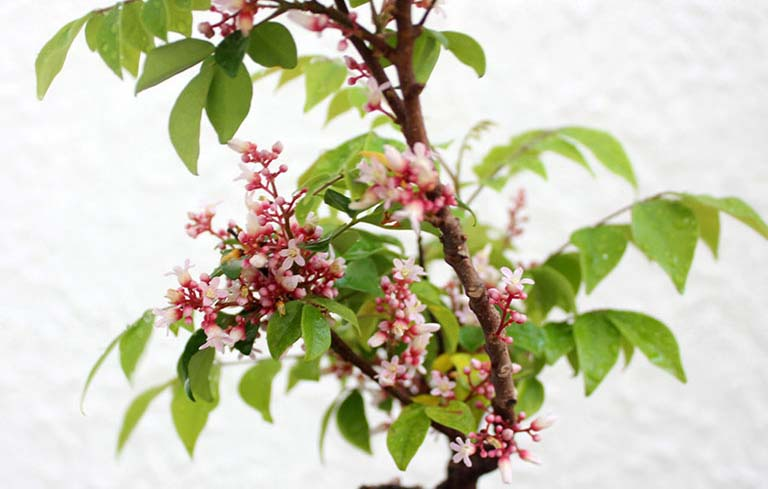 Sắc cả hoa, lá, rễ vỏ cây khế làm nước uống chữa bệnh