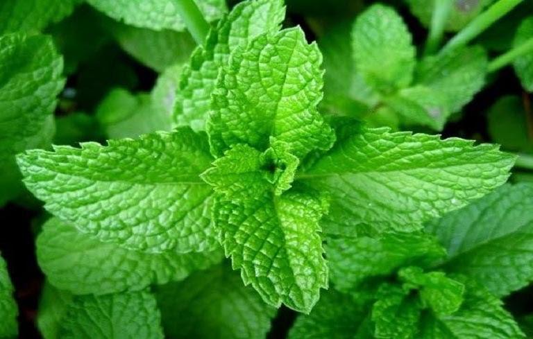 Lá húng chanh chứa nhiều tinh dầu có tác dụng chữa viêm mũi dị ứng hiệu quả