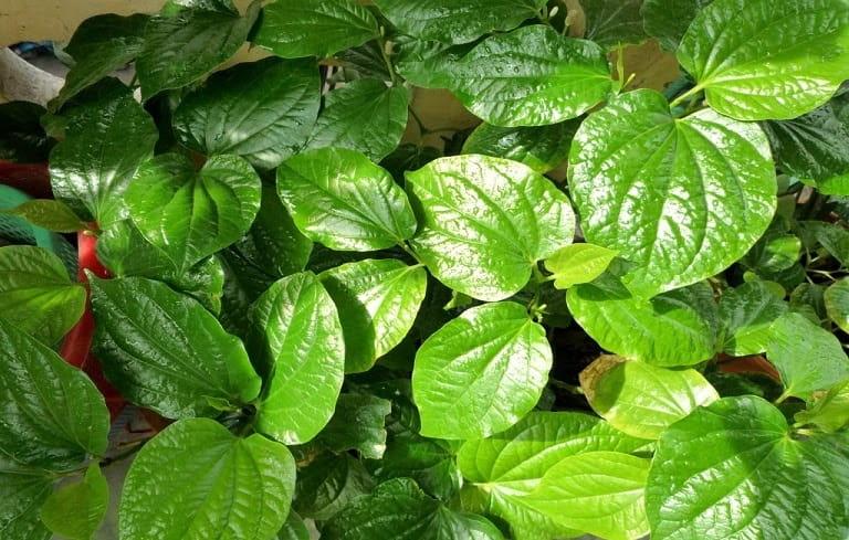 Nhiều người chữa viêm mũi dị ứng bằng lá cây từ lá lốt