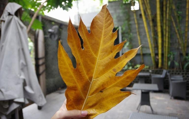 Lá sake thường được sử dụng làm dược liệu khi đã chuyển vàng và rụng xuống đất.